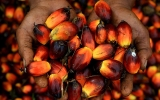 Feng shui says palm oil will do well in Year of the Pig